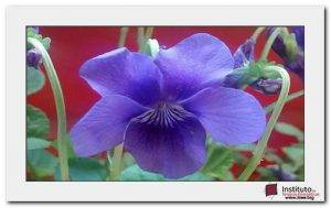 flor-violeta